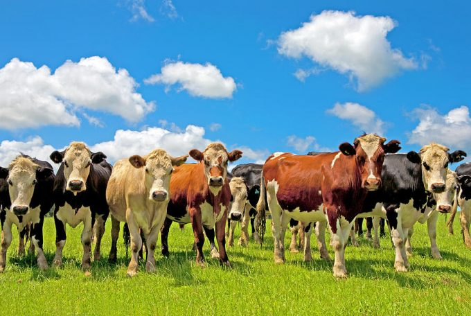 33 разноцветных коровы - рассказ